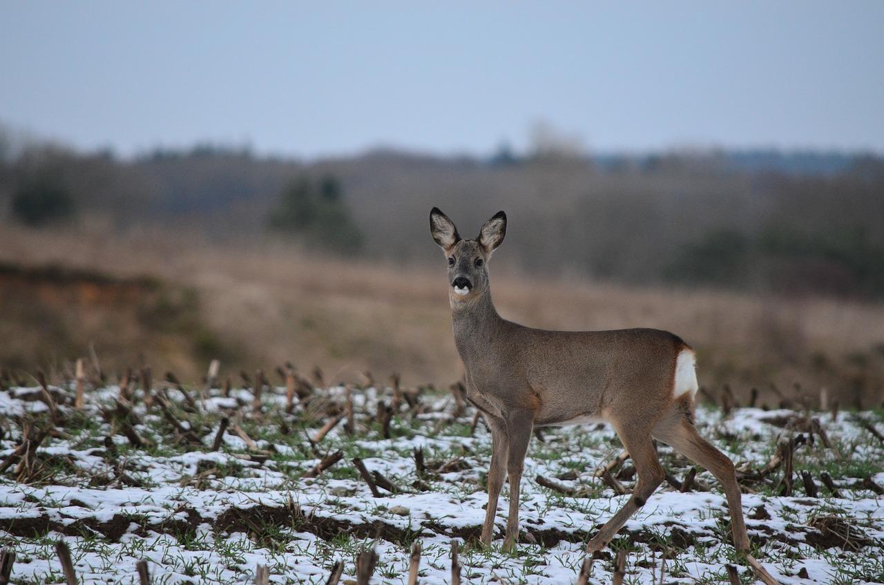 roe-deer-623675_1280