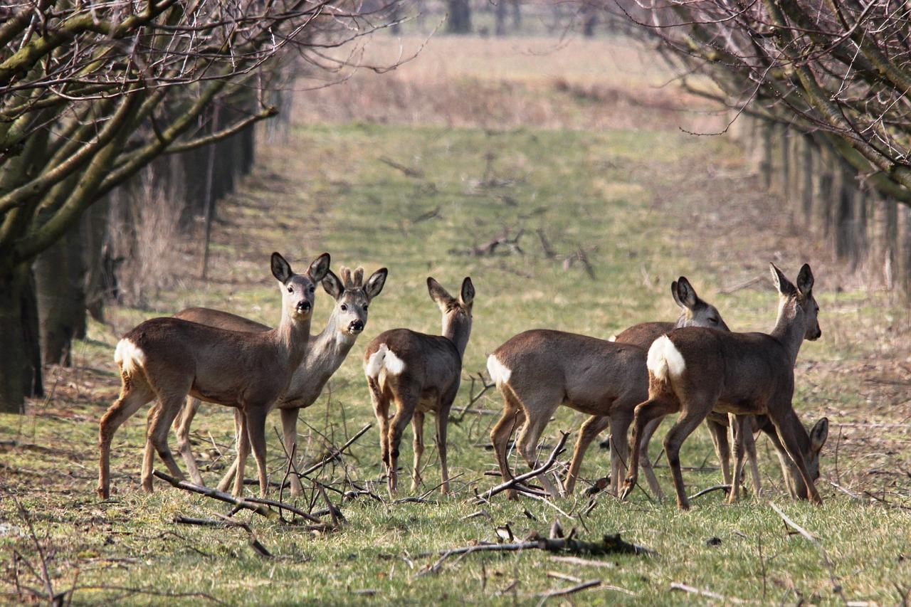 roe-deer-98075_1280